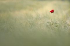 Alone (donlope1) Tags: macro nature light flower poppies morning sun bokeh proxy wild wildlife spring