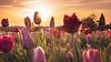 Im Tulpenfeld (stevepe81) Tags: bunt tulpen tulip landschaft nature sonnenuntergang münsterland outdoor natur pflanzen sigma30mmf14 sunsetporn landscape tulpenfeld colors baumberge sunset münster sonyalpha6300 havixbeck