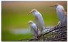 Cattle Egrets (danishpm) Tags: floraandfauna africa amboseli canon eos5dmkiii sigma150600f563contemporary kenya
