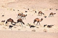 Desert Herd (meg21210) Tags: herd tuareg camels goats desert sahara morocco landscape animals domestic dromedaire dromedaries dromedary camel