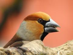 Hawfinch ♂ (Coccothraustes coccothraustes) (eerokiuru) Tags: hawfinch coccothraustescoccothraustes kernbeisser suurnokkvint bird backyardbirds closeup portrait p900 nikoncoolpixp900