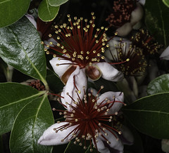 Pineapple Guava Blossoms In The Light (Bill Gracey 18 Million Views) Tags: flowers flores fleur offcameraflash pineappleguava blossoms lastoliteezbox macrolens macrophotography nature naturalbeauty naturephotography softbox garden hedge lakeside