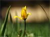 Tulip (Hindrik S) Tags: woodlandtulip yellow orange red green read oranje giel grien grün gelb oranien groen vert geel rood rouge dof skepping schöpfung creation schepping nature natur natuur natuer natoer plant flower blom bloem bulb bol tulpebol sonyphotographing sony sonyalpha alpha a57 α57 slta57 tamron tamronaf16300mmf3563dillvcpzdmacrob016 16300 2018