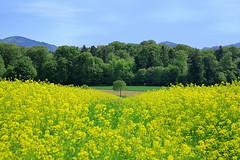 Ein Hauch Gabun (ploh1) Tags: baden landschaft natur bäume himmel schöneswetter bunt farbenfroh baum berge badenwürttemberg frühling