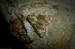 Stericta bryomima (dustaway) Tags: insecta lepidoptera mounttamborine tamborinemountain australianmoths australianinsects rainforest pyralidae epipaschiinae sterictabryomima queensland australia