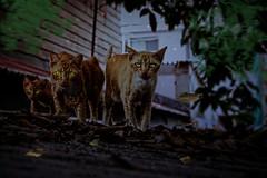Anglų lietuvių žodynas. Žodis alley cat reiškia alėja katė lietuviškai.