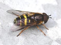 Dasysyrphus tricinctus (Alan Thornhill) Tags: hoverfly tricinctus dasysyrphus cavenhamheath suffolk uk diptera