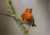 Robin on a stick  - (Erithacus rubecula) 'L' for large (hunt.keith27) Tags: erithacusrubecula robin redbreast devon canon bird animal garden sigma