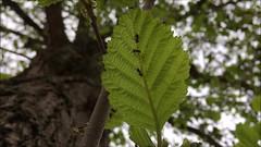 Common Alder (Alnus glutinosa) - leaf close up - April 2018 (Exeter Trees UK) Tags: common alder alnus glutinosa leaf close up april 2018