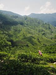 Tea plantation, Riverston to Rattota, Sri Lanka (malithewildcat) Tags: teapicking teaplantation riverston srilanka teaplantationtrek centralprovince