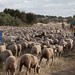 Sheep on migration along the Conquense Drove Road, Spain