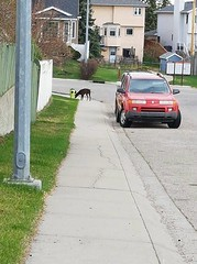Sighting Doberman in #MacEwan at MacEwan Park Close. Pls RT share help to find family. Call 311 if spotted. Do Not Chase YYC Pet Recovery shared Elizabeth Blake's post. Doberman lose in MacEwan again...running at full speed MacEwan Park Close 311 has been (yycpetrecovery) Tags: ifttt may 2018 foundsighted dog foundsighteddog macewan doberman
