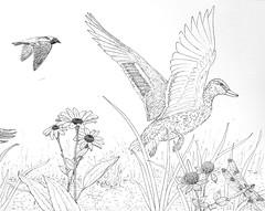 Meadow2 (Alex Hiam) Tags: mallard hen duck meadow grass flowers clover nature drawing illustration