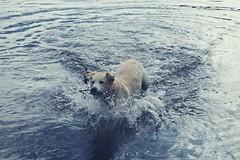 Iva (BlytheGirl123) Tags: iva dog hund animal tier labrador retriver golden goldie