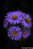 Blue Aster (robtm2010) Tags: nashua newhampshire usa newengland canon canont3i t3i flowers blueaster aster plants flowerscolors