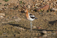 American Avocet on the shore (TonysTakes) Tags: firestone colorado wildlife bird coloradowildlife americanavocet avocet