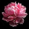 Peony & Bee v2 (Pixel Fusion) Tags: peony flower flora nature macro apple iphone 7