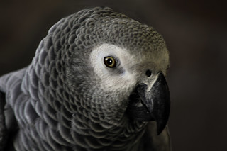_DSC0288 African Gray Parrot