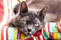 Chill Cleo (hey ~ it's me lea) Tags: caturday cleothecat summervibes shesgotaheartshapednose chill tamron18400 canon80d