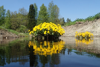 Caltha palustris and the mighty Vantaa river