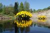 Caltha palustris and the mighty Vantaa river (talaakso) Tags: blomma calthapalustris erkylä finnishlandscape flower harilikvarsakabi hausjärvi heijastus kabbleka kantahäme kukka kukkakuva olympus olympustoughtg5 olympustg5 river sumpfdotterblume tg5 toughtg5 terolaakso vandaå vantaanjoki finnishnature finnishriver joki kingcup landscape maisemakuva marshmarigold peilaus reflection rentukka talaakso