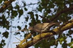 Горлица / Turtledove (Владимир-61) Tags: природа весна май птица горлица nature spring may bird turtledove sony ilca68 minolta 100400 apo