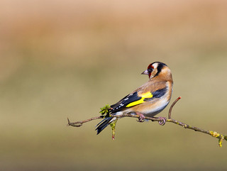 Goldfinch ~ Explored