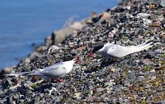 Talking. (ReettaL) Tags: tiira lintu bird seabird tiirallaonasiaa nokka sea vuosaari keskustelu conversation