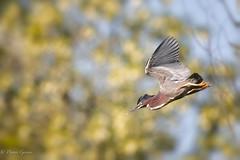 Green Heron Bugs Out (dngovoni) Tags: virginia virginiaarboretum action arboretum bird greenheron heron spring wildlife boyce unitedstates us