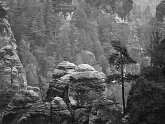Bastei, Sächsische Schweiz (Thunderbird61) Tags: pine saxonia sächsischeschweiz bastei elbsandsteingebirge nature landscape mountain rocks bw sw zw bn paysage schwarzweis blackwhite zwartwit neroblanco noirblanc mono monochrome pentax mediumformat tree solitaire