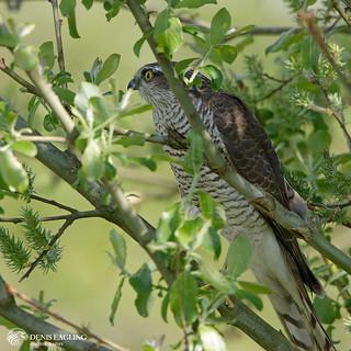 Sparrowhawk - (f)