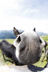 Smells Like A Close Up (CoolMcFlash) Tags: donkey animal nature closeup macro fisheye canon eos 60d sigma 10mm austria funny nose portrait esel tier natur nahaufnahme makro fischauge österreich lustig nase fotografie photography riechen smell kärnten carinthia playstation 5