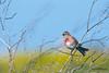 Chanter dans le vent (Jacques GUILLE) Tags: linottemélodieuse chant oiseau ilederé cardueliscannabina commonlinnet fringillidés passériformes bird arsenré nouvelleaquitaine france fr