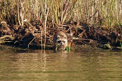 You looking at me? (deanspic) Tags: raccoon g3x canoe paddleon