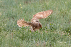 Burrowing Owl mating sequence - 15 of 22