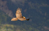 Gypaète 3 (gil streichert) Tags: gipeto quebrantahuesos bearded vulture aragon rapace affut