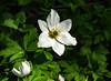 6M7A1901 (hallbæck) Tags: aboretet anemone plante plant blomst flower fleur flore fiore hørsholm denmark saveearth