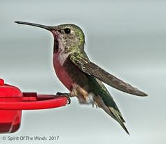 "Lady Hummer (jimgspokane) Tags: hummingbirds hummers birds wildlife idahostate nature ""nikonflickraward"" today´sbest"