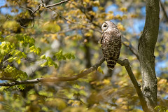 Barred Owl in Spring Foliage (NicoleW0000) Tags: barredowl owl wild wildlife nature forest woods leaves outdoors spring springtime ontario canada