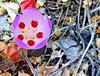 Desert Five Spot (EmperorNorton47) Tags: deathvalleynationalpark california photo digital spring desertfivespot eremalcherotundifolia flower wildflower desert worldheritagesite unesco nps