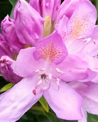 Rhododendron (daveandlyn1) Tags: flowers closeup macro pinkish rhododendron pralx1 huawei manchester garden