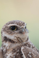 Dudley the Burrowing Owl. (LisaDiazPhotos) Tags: animal ambassador dudley burrowing owl lisadiazphotos sdzsafaripark sdzoo sdzsp sandiegozoo sandiegozooglobal sandiegozoosafaripark