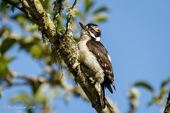 Downy Woodpecker (m) (Bob Gunderson) Tags: birds california downywoodpecker fortmason northerncalifornia picoidespubescens sanfrancisco woodpeckers