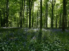bluebells, garlic & ferns 133/365 (auroradawn61) Tags: dorset uk england may 2018 countryside woods flowers lumixlx100 wildgarlic ferns trees bluebellwoods 365daysin2018 delcombewoods