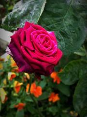 Rose flower, роза (Anna Gelashvili) Tags: цветокроза роза rose flower цветок flowers цветочки garden roseflower ვარდი ვარდისფერივარდი იასამნისფერიყვავილი