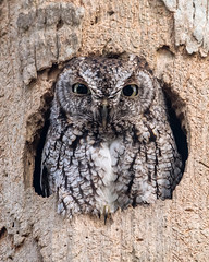 Stink Eye (PeterBrannon) Tags: bird easternscreechowl florida megascopsasio nature palmtree talons wildlife cavity owl stinkeye