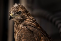 peripheral vision... (Alvin Harp) Tags: redtailedhawk juvenilehawk natureswonder californiahawk jurupavalley southerncalifornia may 2018 martenterminal sonyilce9 fe70200mmf28 gmoss2x wildlife bird birdsofprey raptor alvinharp