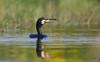 Aalscholver - Great Cormorant - Phalacrocorax carbo-1668 (Theo Locher) Tags: birds vogels vögel oiseaux belgie belgium copyrighttheolocher greatcormorant aalscholver kormoran grandcormoran phalacrocoraxcarbo