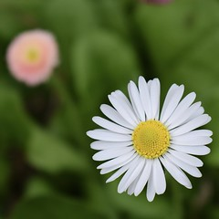 Circular #2 (MJ Harbey) Tags: macro flower garden plant ascotthouse nationaltrust buckinghamshire daisy bellisperennis plantae asteraceae nikon d3300 nikond3300