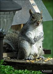 Backyard Visitor... (angelakanner) Tags: canonsx50 garden longisland squirrel corn cute chubby furry closeup